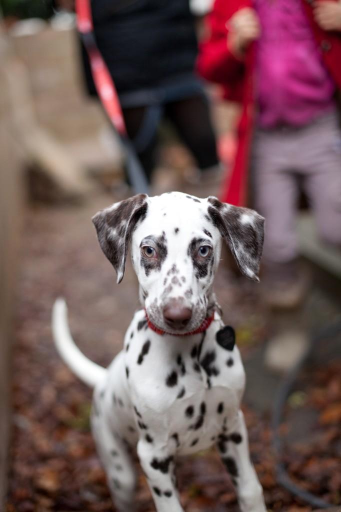 A gorgeous Dalmatian during a family portrait shoot in Lancashire.