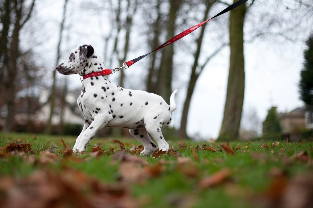 A gorgeous Dalmatian playing at Ashton Park, Preston Lancashire photographer