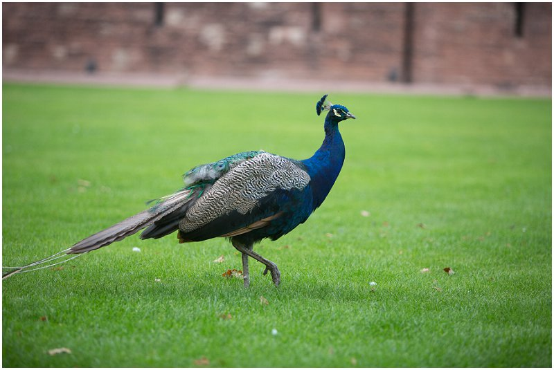 Peacock at Wedding | Peckforton Castle Award Winning wedding photographer Karli Harrison Photography