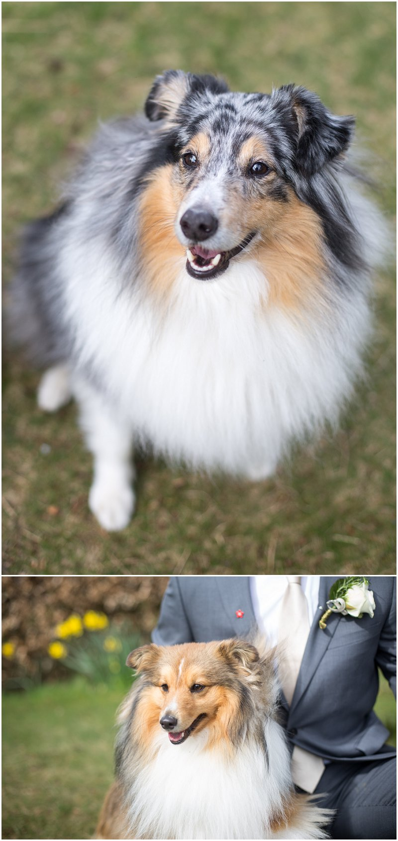 Bride and Groom's babies - sheltie dogs